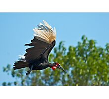 Southern Ground Hornbill on flight Photographic Print