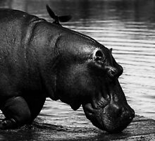 Hippo and Oxpecker by Rashid Latiff