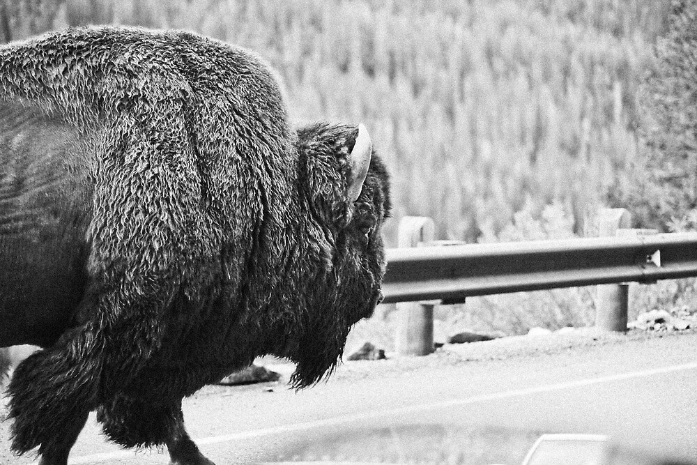 buffalo by sara montour