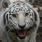 White tiger growling by eangelina64