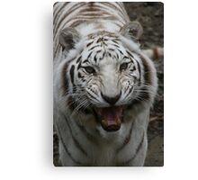 White tiger growling Canvas Print