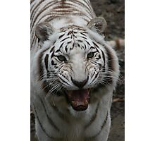 White tiger growling Photographic Print