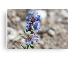 Shining Beardtongue (Penstermon nitidus) Canvas Print