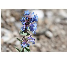 Shining Beardtongue (Penstermon nitidus) Photographic Print