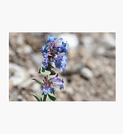 Shining Beardtongue (Penstermon nitidus) Photographic Print