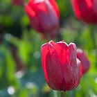 Red Tulip by Mel Sinclair