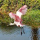 Spoonbill in Flight by Nukee
