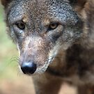 Red Wolf Closeup by Karol Livote