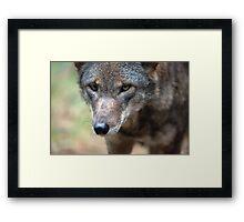 Red Wolf Closeup Framed Print