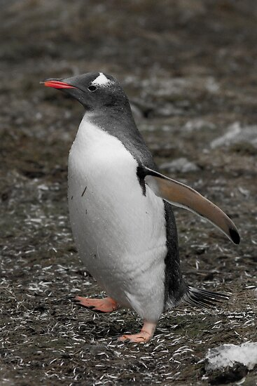 Gentoo Penguin, Godthul, South Georgia by Coreena Vieth