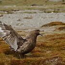 Skua, Moltke Harbour, South Georgia by Coreena Vieth