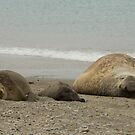 Elephant Seal Family, Moltke Harbour, South Georgia by Coreena Vieth