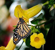 Monarch  by richchop