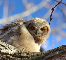 Great Horned Owlet by JamesA1