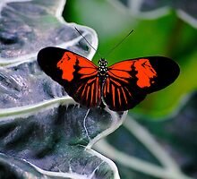 Butterfly by richchop