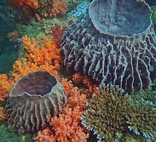 THE BARREL SPONGES OF PELONG RIDGES by NICK COBURN PHILLIPS