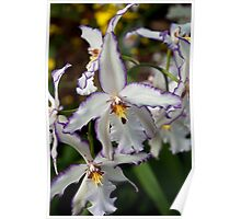 White and Purple Orchid Poster