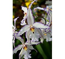 White and Purple Orchid Photographic Print