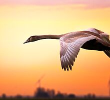 Young swan in fly by THHoang