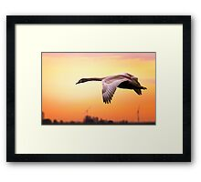 Young swan in fly Framed Print