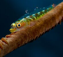 Goby on Whip Coral by allyazza