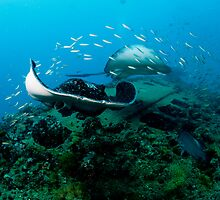 Bull Rays on SS Yongala by allyazza