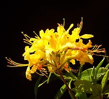 Rhododendron luteum-sweet  by joancaronil