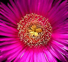 Mesembryanthemum sp. by joancaronil