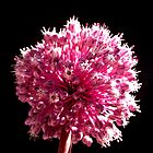 Allium sp. by joancaronil