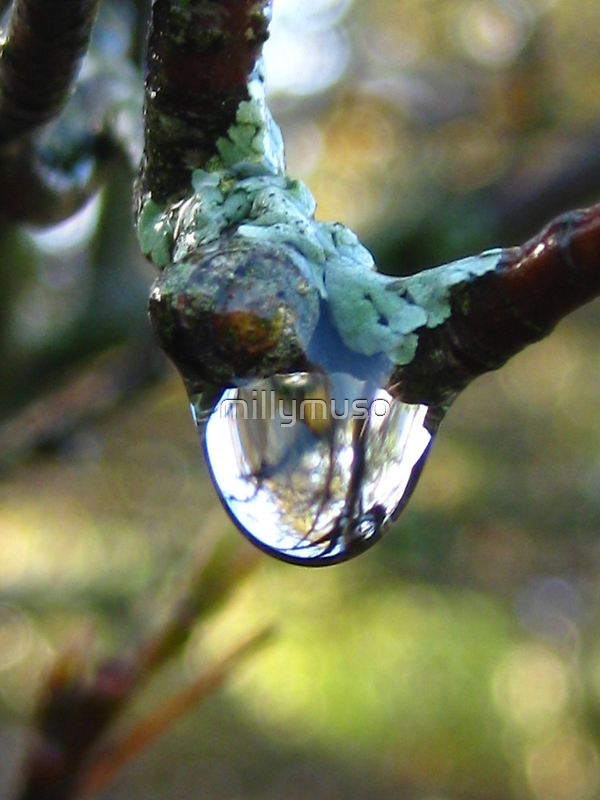 droplet from a lichen by millymuso