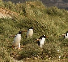 Gentoo Penguins, Leopard Cove, Carcass Island, Falkland Islands by Coreena Vieth