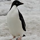 Adelie Penguin, Devil&#x27;s Island, Antarctic Peninsula by Coreena Vieth