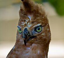 Javan Hawk-Eagle, Nisaetus bartelsi by Normf