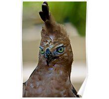 Javan Hawk-Eagle, Nisaetus bartelsi Poster