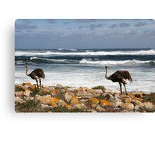 Ostrich, South Africa Canvas Print
