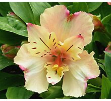 May Lily Photographic Print