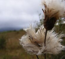milkweed cotton by bluelikasmurf