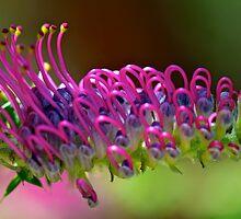 Grevillea acanthifolia by Renee Hubbard Fine Art Photography