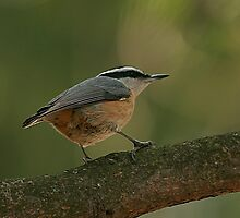 Red Breasted Nuthatch by eaglewatcher4