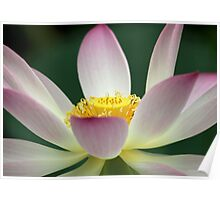 Beautiful Lotus Blooming Poster