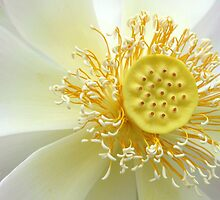 Lotus in the Sunshine by Sabrina Ryan