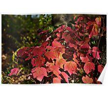 Viburnum acerifolium  Poster
