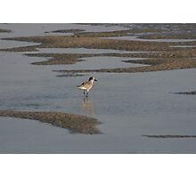 Sanderling on the sound Photographic Print
