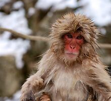 Snow monkey in Japan by mcreighton