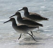 3 Willets in a row by eangelina64