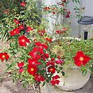 A pot full of roses ... Kilmore East, Victoria, Australia by Margaret Morgan (Watkins)