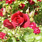 Only a rose . . . . Kilmore East Victoria Australia by Margaret Morgan (Watkins)