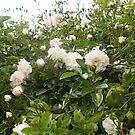 My Sea Foam Climbing Rose by Margaret Morgan (Watkins)