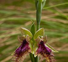 Calochilus robertsonii Purple Beard-orchid by David  Piko
