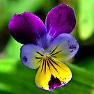 Vibrant Viola by Deborah Clearwater